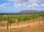 Weingaerten in Suedafrika
