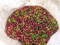 frische Kaffebohnen mit Schale, gefunden auf dem Weg zum Wasserfall