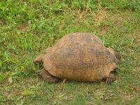 Eines der gefaerlichsten Tiere in Suedafrika, die Schildkroete