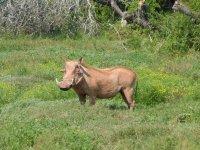 Pumba, das Warzenschwein