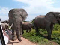 Elefantenherde neben unserem Auto