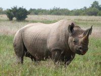 Schwarzes Rhinozerus, angeblich extrem selten zu sehen im Park